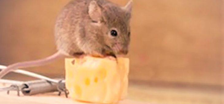 Comment attraper un rat dans la maison ?